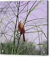 Female Cardinal In Willow Acrylic Print