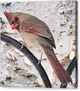 Female Cardinal Acrylic Print by John Kunze