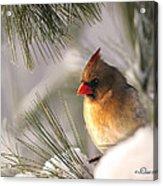 Female Cardinal Nestled In Snow Acrylic Print