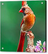 Female Cardinal Posing Pretty  Acrylic Print