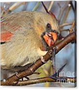 Thorns And Berries - Cardinal Acrylic Print