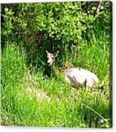 Female Deer Resting Acrylic Print