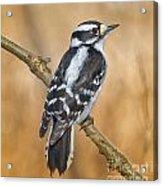 Female Downey Woodpecker Acrylic Print
