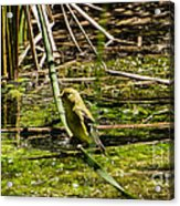 Female Gold Finch Drinking Acrylic Print