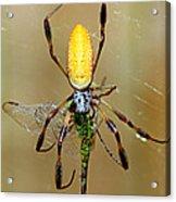 Female Golden Silk Spider Eating Acrylic Print