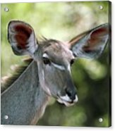 Female Greater Kudu Acrylic Print