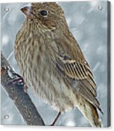 Female House Finch In Snow 1 Acrylic Print