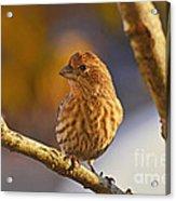 Female Housefinch Acrylic Print