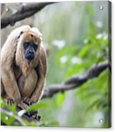 Female Howler Monkey Acrylic Print