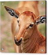Female Impala Acrylic Print