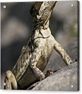 Female Jesus Lizard Acrylic Print