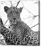 Female Leopard Acrylic Print