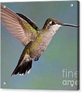 Female Magnificent Hummingbird At Flower Acrylic Print