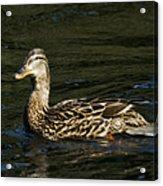 Female Mallard And Duckling Acrylic Print