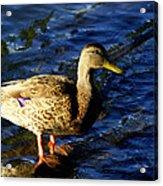 Female Mallard Acrylic Print by DerekTXFactor Creative