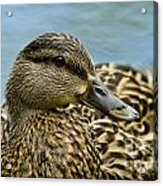 Female Mallard Duck Acrylic Print