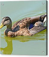 Female Mallard Duck  Acrylic Print