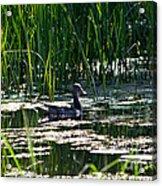Female Mallard Duck Swimming Acrylic Print