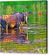 Female Moose Near Airport In Chicken-alaska   Acrylic Print