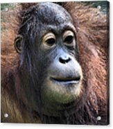 Female Orangutan Borneo Acrylic Print