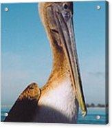 Female Pelican Acrylic Print