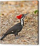 Female Pileated Woodpecker Acrylic Print