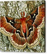 Female Promethea Moth Acrylic Print