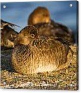 Female Readhead Duck Acrylic Print