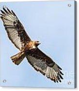 Female Red-tailed Hawk Acrylic Print by Carl Jackson