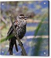 Female Red-winged Blackbird Acrylic Print