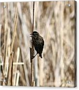 Female Red Winged Blackbird On Marsh Reeds Acrylic Print