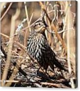 Female Red-winged Blackbird Acrylic Print