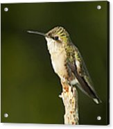 Female Ruby Throated Hummingbird Acrylic Print