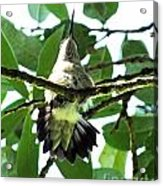 Female Ruby Throated Hummingbird Acrylic Print