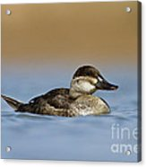 Female Ruddy Duck Acrylic Print