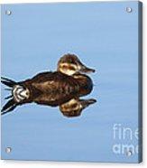 Female Ruddy Duck Oxyurus Jamaicensis Acrylic Print