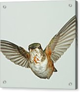 Female Rufous Hummingbird With Sequins Acrylic Print by Gregory Scott