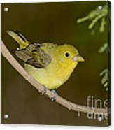 Female Scarlet Tanager Acrylic Print