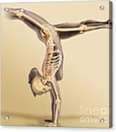 Female Skeletal System Acrylic Print