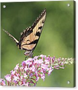 Female Tiger Butterly-1-featured In Macro-comfortable Art And Newbies Groups Acrylic Print