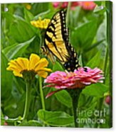 Female Tiger Swallowtail Butterfly With Pink And Yellow Zinnias Acrylic Print