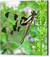Female Twelve-spotted Skimmer Acrylic Print