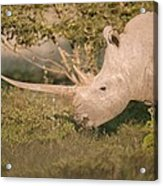 Female White Rhinoceros Grazing Acrylic Print