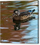 Female Wood Duck In Fall Colors Acrylic Print