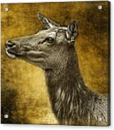 Female Yellowstone Elk Acrylic Print