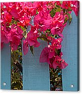 Fence With Bouganvillia Acrylic Print