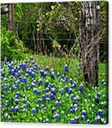 Fenced In Bluebonnets Acrylic Print