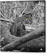 Feral Cat Acrylic Print