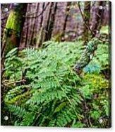 Fern In Forest Acrylic Print