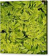 1m2436-ferns At The Base Of Mt. Robson  Acrylic Print